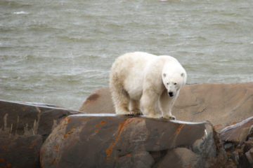 A pregnant polar bear along Hudson Bay. Photo by Karen Glenn.