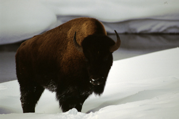Bison in Yellowstone National Park  winter