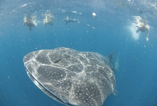 Swimming with whale sharks off Isla Mujeres with SEEtheWILD