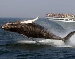 Whale watching off Provincetown, Mass.