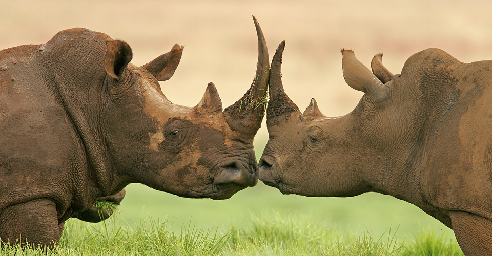 Portrait of two White (square-lipped) rhinoceros, South Africa. Natural Habitat Adventures