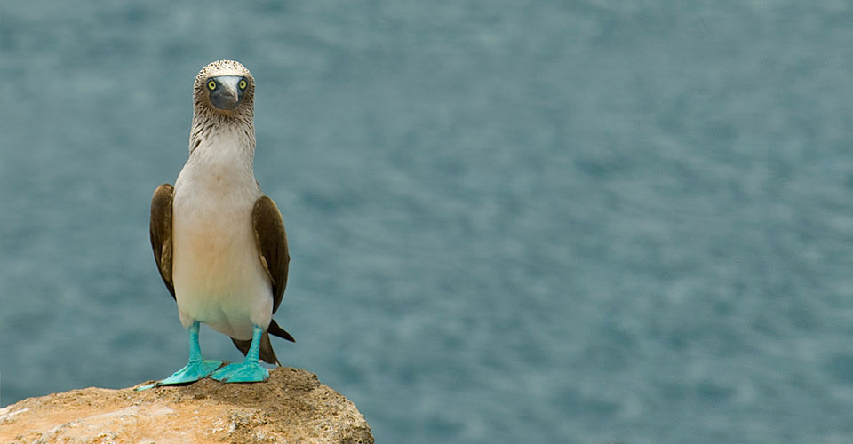 Blue footed booby on Santa Cruz island, Galapagos. Natural Habitat Adventures