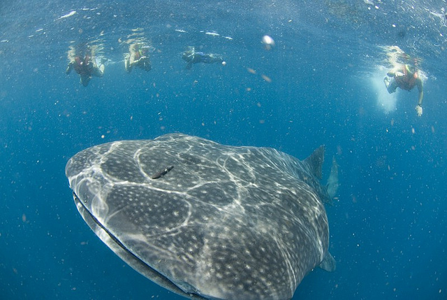 A whale shark off the coast of Mexico.