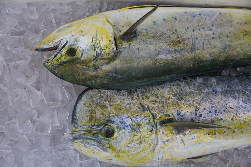 These dolphin fish (mahi-mahi) are among more than a half-dozen of the highly prized and good-eating gamefish hooked during an offshore charter onboard Lo Que Sea out of Ft. Pierce Marina, FL.