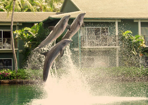 Resident dolphins at the Kahala Hotel & Resort, Honolulu