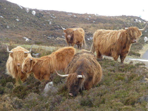 A herd of shaggy red and blonde Highland cattle. Photo Monique Burns