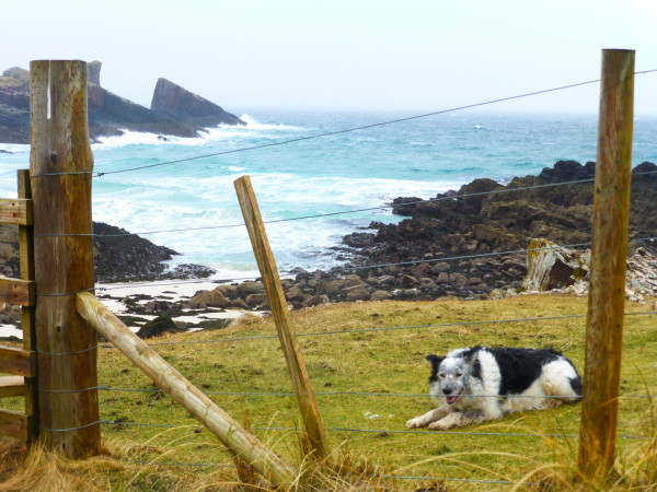 A playful Border Collie on the bluffs above windswept Clachtoll Beach PHOTO Monique Burns