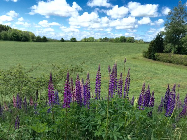 The lupine were in full bloom in mid-summer in southern Sweden.