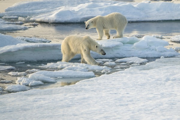 Polar bears hunting seals on Spitsbergen ice floes. Photo Ester Kokmeijer