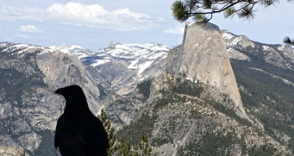 Half Dome and raven. Photo by Effin Older.