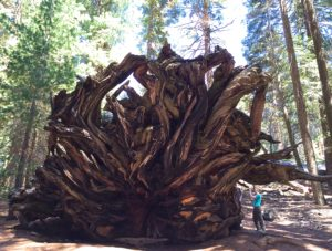 Sequoia roots. Photo by Effin Older.