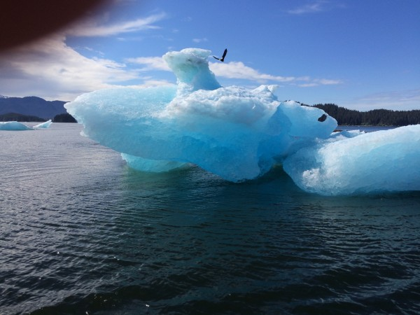 A bald eagle soars above an enormous iceberg floating in Tracy Arm.