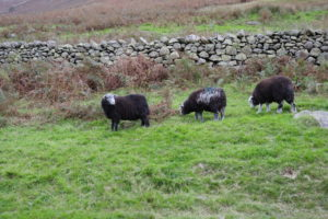 Herdwick sheep, an ancient breed found only in the Lake District and introduced by the Vikings about 1,000 years ago. © Sara Hudston